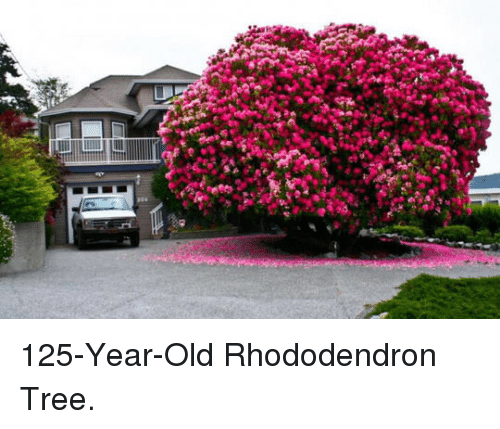 Tree, Old, and  Year: <p>125-Year-Old Rhododendron Tree.</p>
