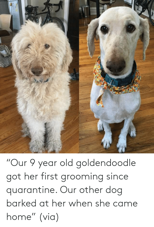 "quarantine: ""Our 9 year old goldendoodle got her first grooming since quarantine. Our other dog barked at her when she came home"" (via)"
