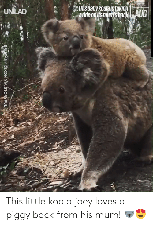 joey: 2019  This baby koala istaking  aride on its mum's back| AUG  UNILAD  BRITTANY DIXON VIA STORYFUL This little koala joey loves a piggy back from his mum! 🐨😍