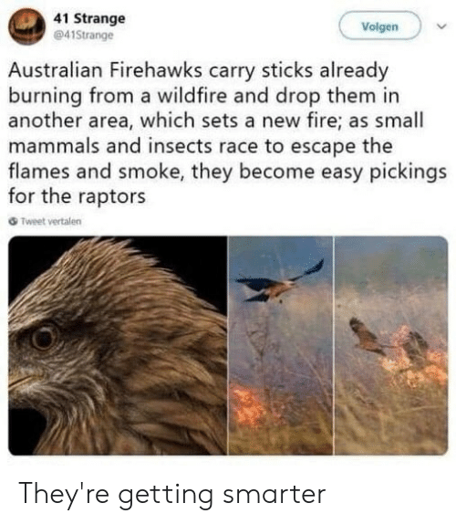Fire, Race, and Australian: 41 Strange  41Strange  Volgen  Australian Firehawks carry sticks already  burning from a wildfire and drop them in  another area, which sets a new fire; as small  mammals and insects race to escape the  flames and smoke, they become easy pickings  for the raptors  Tweet vertalen They're getting smarter