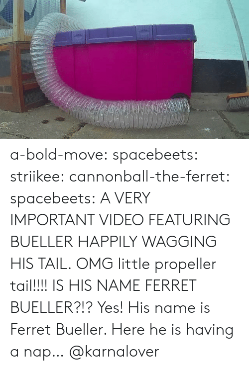 Omg, Tumblr, and Blog: a-bold-move:  spacebeets:  striikee:   cannonball-the-ferret:   spacebeets:  A VERY IMPORTANT VIDEO FEATURING BUELLER HAPPILY WAGGING HIS TAIL.  OMG little propeller tail!!!!   IS HIS NAME FERRET BUELLER?!?   Yes! His name is Ferret  Bueller. Here he is having a nap…  @karnalover