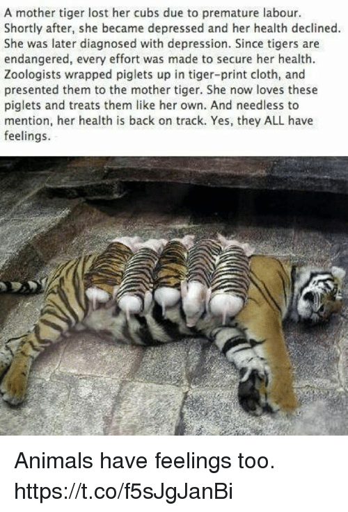 Animals, Memes, and Lost: A mother tiger lost her cubs due to premature labour.  Shortly after, she became depressed and her health declined.  She was later diagnosed with depression. Since tigers are  endangered, every effort was made to secure her health.  Zoologists wrapped piglets up in tiger-print cloth, and  presented them to the mother tiger. She now loves these  piglets and treats them like her own. And needless to  mention, her health is back on track. Yes, they ALL have  feelings. Animals have feelings too. https://t.co/f5sJgJanBi