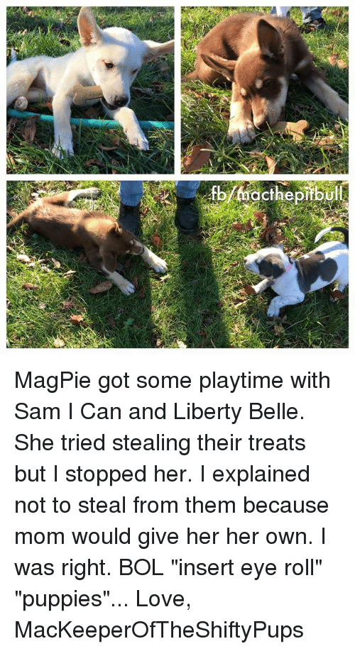 """Eyes Rolling: acthe pitbul MagPie got some playtime with Sam I Can and Liberty Belle. She tried stealing their treats but I stopped her. I explained not to steal from them because mom would give her her own. I was right. BOL """"insert eye roll"""" """"puppies""""...  Love, MacKeeperOfTheShiftyPups"""