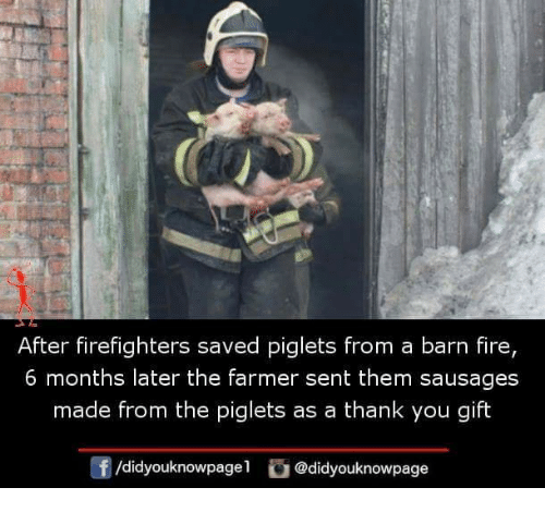 Fire, Memes, and Thank You: After firefighters saved piglets from a barn fire,  6 months later the farmer sent them sausages  made from the piglets as a thank you gift  f/didyouknowpagel@didyouknowpage