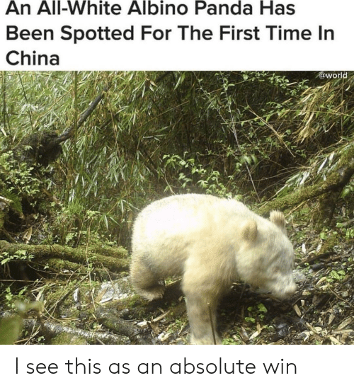 all white: An All-White Albino Panda Has  Been Spotted For The First Time In  China  @world I see this as an absolute win