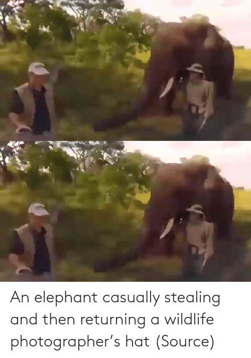 hat: An elephant casually stealing and then returning a wildlife photographer's hat (Source)