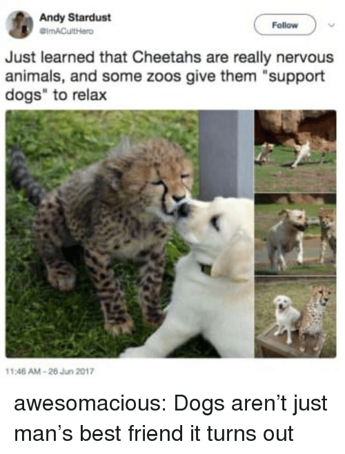 """Animals, Best Friend, and Dogs: Andy Stardust  Follow  Just learned that Cheetahs are really nervous  animals, and some zoos give them """"support  dogs"""" to relax  146 AM-26 Jun 2017 awesomacious:  Dogs aren't just man's best friend it turns out"""