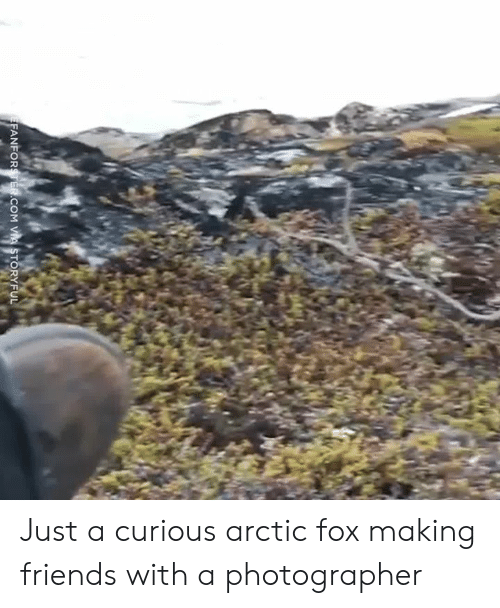 Dank, Friends, and 🤖: ANFORSTER.COM VA STORYFUL Just a curious arctic fox making friends with a photographer