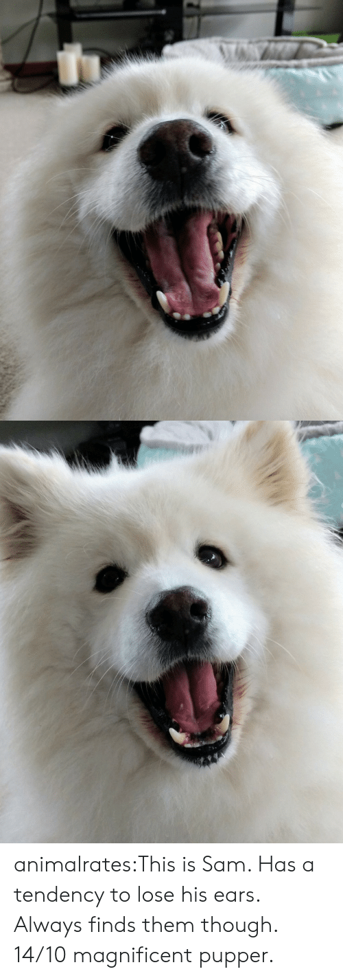 Target, Tumblr, and Blog: animalrates:This is Sam. Has a tendency to lose his ears. Always finds them though. 14/10 magnificent pupper.