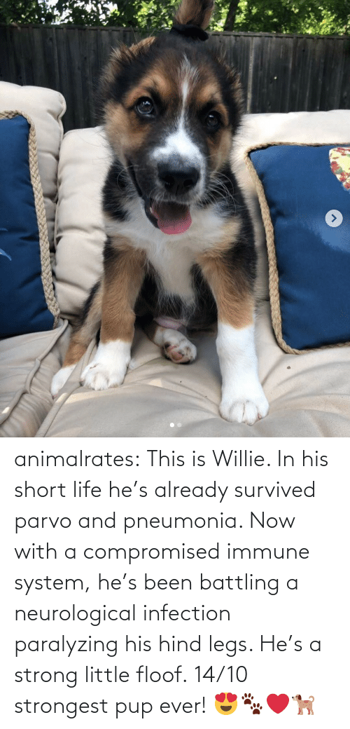 hes: animalrates: This is Willie. In his short life he's already survived parvo and pneumonia. Now with a compromised immune system, he's been battling a neurological infection paralyzing his hind legs. He's a strong little floof. 14/10 strongest pup ever! 😍🐾❤️🐕
