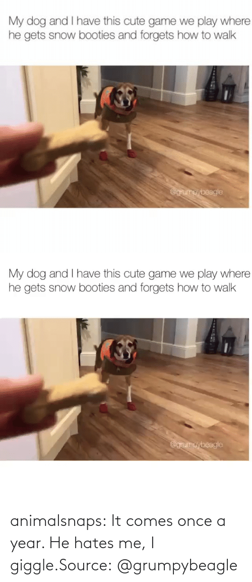 hates: animalsnaps:  It comes once a year. He hates me, I giggle.Source:@grumpybeagle