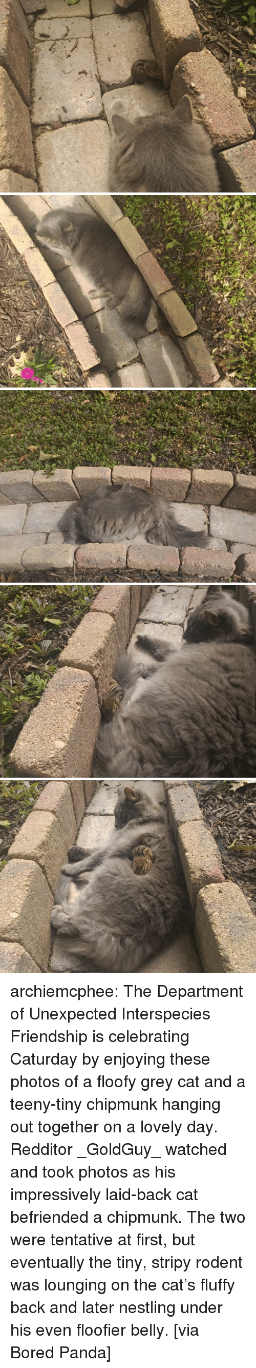 Bored Panda: archiemcphee: The Department of Unexpected Interspecies Friendship is celebrating Caturday by enjoying these photos of a floofy grey cat and a teeny-tiny chipmunk hanging out together on a lovely day. Redditor _GoldGuy_ watched and took photos as his impressively laid-back cat befriended a chipmunk. The two were tentative at first, but eventually the tiny, stripy rodent was lounging on the cat's fluffy back and later nestling under his even floofier belly. [via Bored Panda]