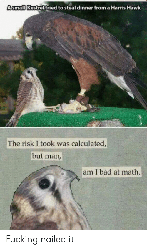 Risk I Took Was Calculated But Man Am I Bad At Math: Asmall Kestreltried to steal dinner from a Harris Hawk  The risk I took was calculated,  but man,  am I bad at math. Fucking nailed it