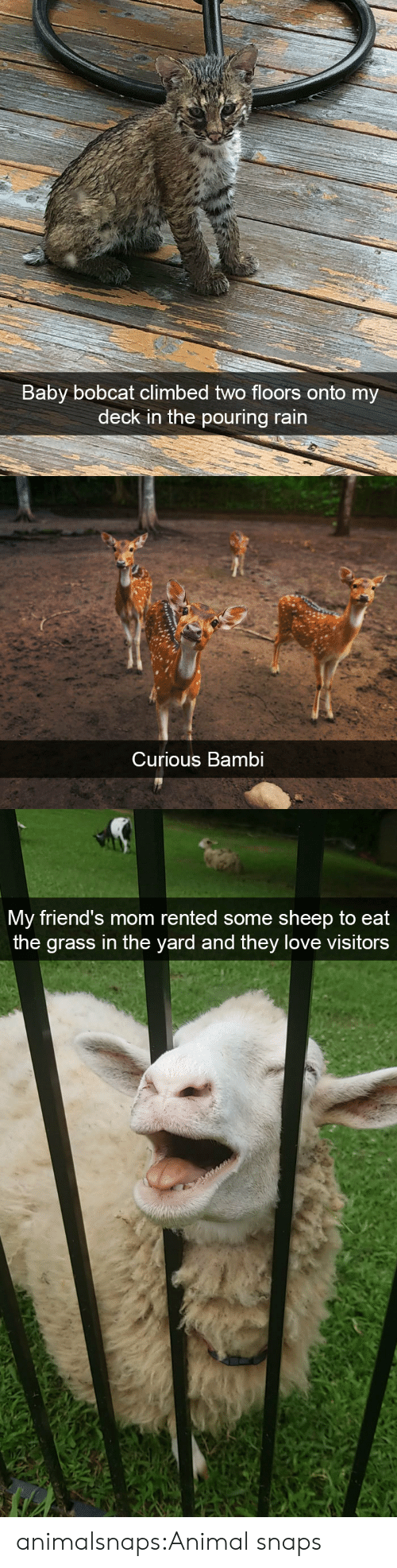 Bambi, Friends, and Love: Baby bobcat climbed two floors  deck in the pouring rain  onto my   Curious Bambi   My friend's mom rented some sheep to eat  the grass in the yard and they love visitors animalsnaps:Animal snaps