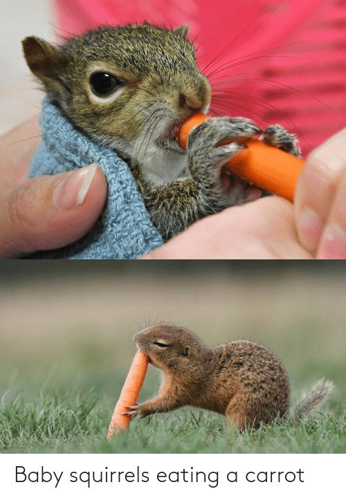 eating: Baby squirrels eating a carrot