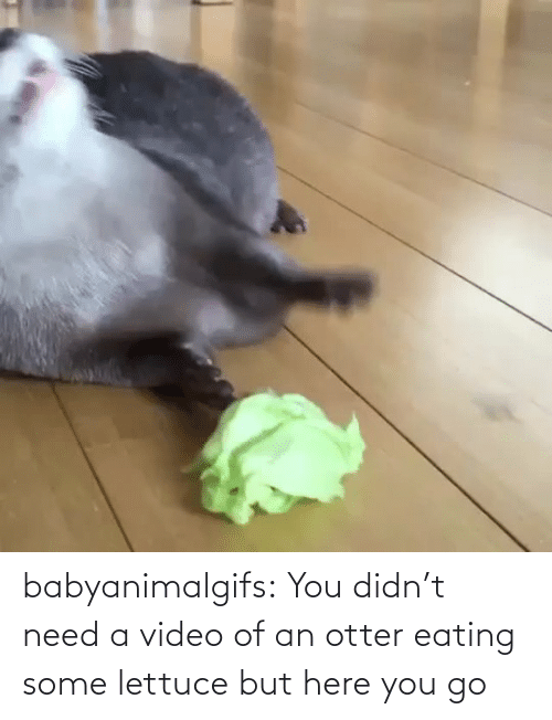 Didnt: babyanimalgifs:  You didn't need a video of an otter eating some lettuce but here you go