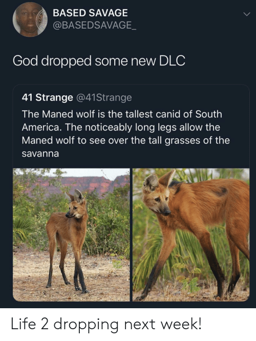 Long Legs: BASED SAVAGE  @BASEDSAVAGE  God dropped some new DLC  41 Strange @41Strange  The Maned wolf is the tallest canid of South  America. The noticeably long legs allow the  Maned wolf to see over the tall grasses of the  savanna Life 2 dropping next week!