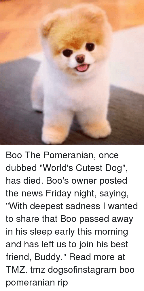 "Best Friend, Boo, and Friday: Boo The Pomeranian, once dubbed ""World's Cutest Dog"", has died. Boo's owner posted the news Friday night, saying, ""With deepest sadness I wanted to share that Boo passed away in his sleep early this morning and has left us to join his best friend, Buddy."" Read more at TMZ. tmz dogsofinstagram boo pomeranian rip"