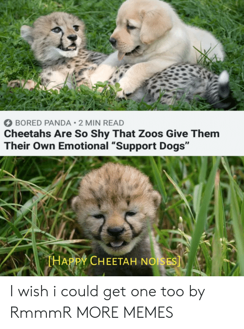 """Bored Panda: BORED PANDA 2 MIN READ  Cheetahs Are So Shy That Zoos Give Them  Their Own Emotional """"Support Dogs""""  THAPPY CHEETAH NOISES] I wish i could get one too by RmmmR MORE MEMES"""