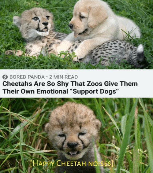 """Bored Panda: BORED PANDA 2 MIN READ  Cheetahs Are So Shy That Zoos Give Them  Their Own Emotional """"Support Dogs""""  THAPPY CHEETAH NOISES]"""