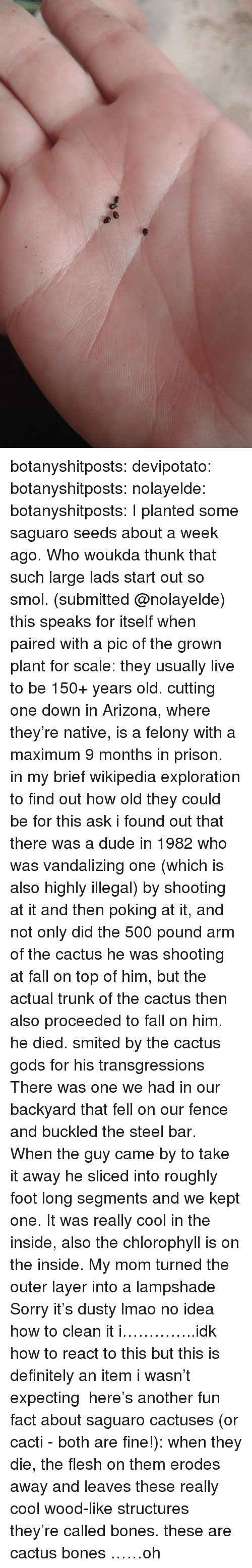 Bones, Definitely, and Dude: botanyshitposts: devipotato:  botanyshitposts:  nolayelde:  botanyshitposts:  I planted some saguaro seeds about a week ago. Who woukda thunk that such large lads start out so smol. (submitted @nolayelde) this speaks for itself when paired with a pic of the grown plant for scale: they usually live to be 150+ years old. cutting one down in Arizona, where they're native, is a felony with a maximum 9 months in prison. in my brief wikipedia exploration to find out how old they could be for this ask i found out that there was a dude in 1982 who was vandalizing one (which is also highly illegal) by shooting at it and then poking at it, and not only did the 500 pound arm of the cactus he was shooting at fall on top of him, but the actual trunk of the cactus then also proceeded to fall on him. he died. smited by the cactus gods for his transgressions  There was one we had in our backyard that fell on our fence and buckled the steel bar. When the guy came by to take it away he sliced into roughly foot long segments and we kept one. It was really cool in the inside, also the chlorophyll is on the inside. My mom turned the outer layer into a lampshade Sorry it's dusty lmao no idea how to clean it  i…………..idk how to react to this but this is definitely an item i wasn't expecting  here's another fun fact about saguaro cactuses (or cacti - both are fine!): when they die, the flesh on them erodes away and leaves these really cool wood-like structures they're called bones. these are cactus bones  ……oh