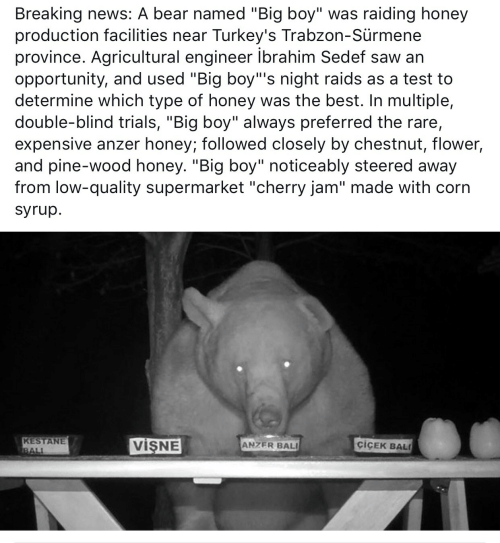 """News, Saw, and Bali: Breaking news: A bear named """"Big boy"""" was raiding honey  production facilities near Turkey's Trabzon-Sürmene  province. Agricultural engineer ibrahim Sedef saw an  opportunity, and used """"Big boy""""'s night raids as a test to  determine which type of honey was the best. In multiple,  double-blind trials, """"Big boy"""" always preferred the rare,  expensive anzer honey; followed closely by chestnut, flower,  and pine-wood honey. """"Big boy"""" noticeably steered away  from low-quality supermarket """"cherry jam"""" made with corn  syrup.  KESTANE  BALI  VISNE  ciCEK BAL  ANZER BALI"""
