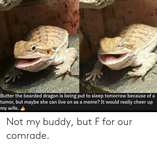 Meme It: Butter the bearded dragon is being put to sleep tomorrow because of a  tumor, but maybe she can live on as a meme? It would really cheer up  my wife. Not my buddy, but F for our comrade.