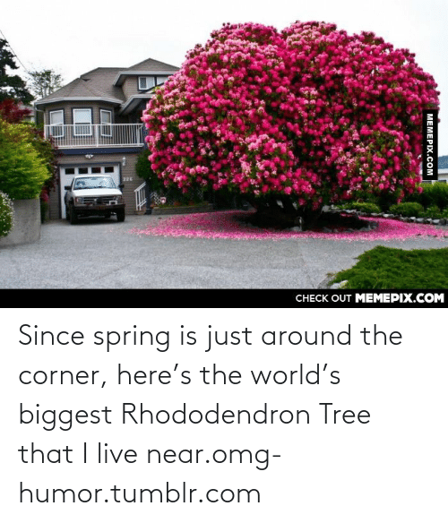 Rhododendron: CНECK OUT MЕМЕРIХ.COM  МЕМЕРIХ.СOм Since spring is just around the corner, here's the world's biggest Rhododendron Tree that I live near.omg-humor.tumblr.com