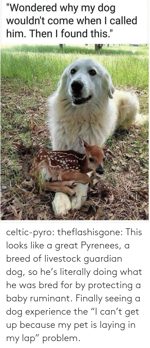"Experience: celtic-pyro:  theflashisgone: This looks like a great Pyrenees, a breed of livestock guardian dog, so he's literally doing what he was bred for by protecting a baby ruminant. Finally seeing a dog experience the ""I can't get up because my pet is laying in my lap"" problem."