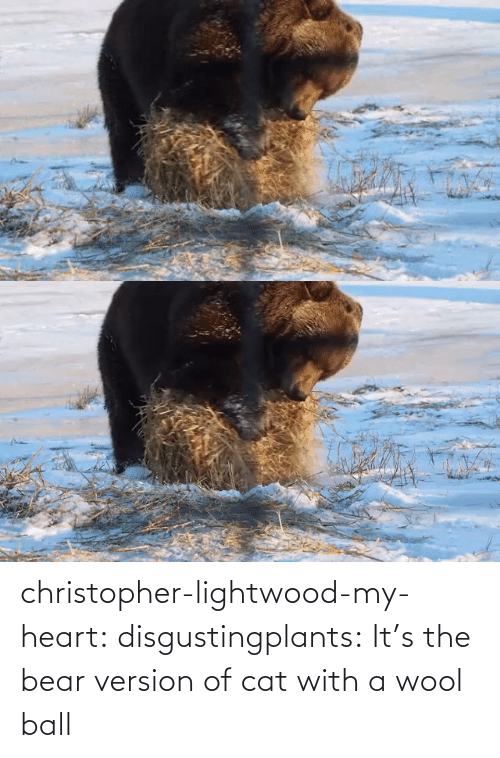 Heart: christopher-lightwood-my-heart: disgustingplants:    It's the bear version of cat with a wool ball