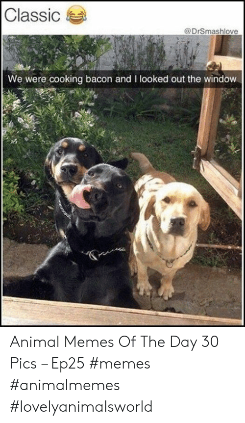 Memes, Animal, and Bacon: Classic  @DrSmashlove  We were cooking bacon and I looked out the window Animal Memes Of The Day 30 Pics – Ep25 #memes #animalmemes #lovelyanimalsworld