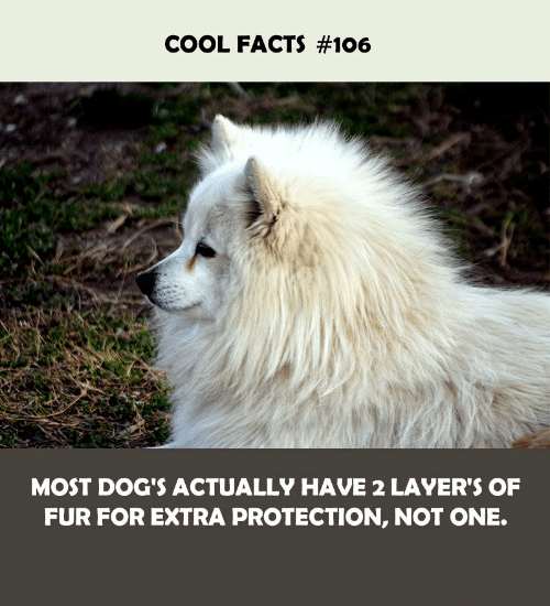 Layers: COOL FACTS #106  MOST DOG'S ACTUALLY HAVE 2 LAYER'S OF  FUR FOR EXTRA PROTECTION, NOT ONE.