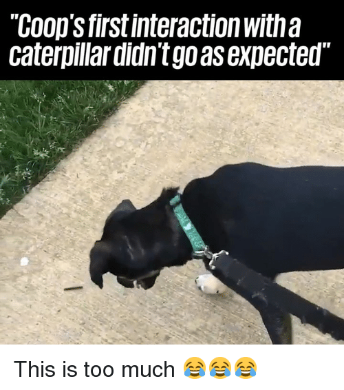 Dank, Too Much, and 🤖: COop's firstinteraction with a  caterpillar didn't go as expected This is too much 😂😂😂