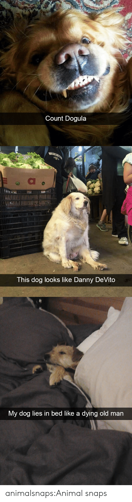 Danny Devito: Count Dogula   WASHINGTON  NUEU  This dog looks like Danny DeVito   My dog lies in bed like a dying old man animalsnaps:Animal snaps