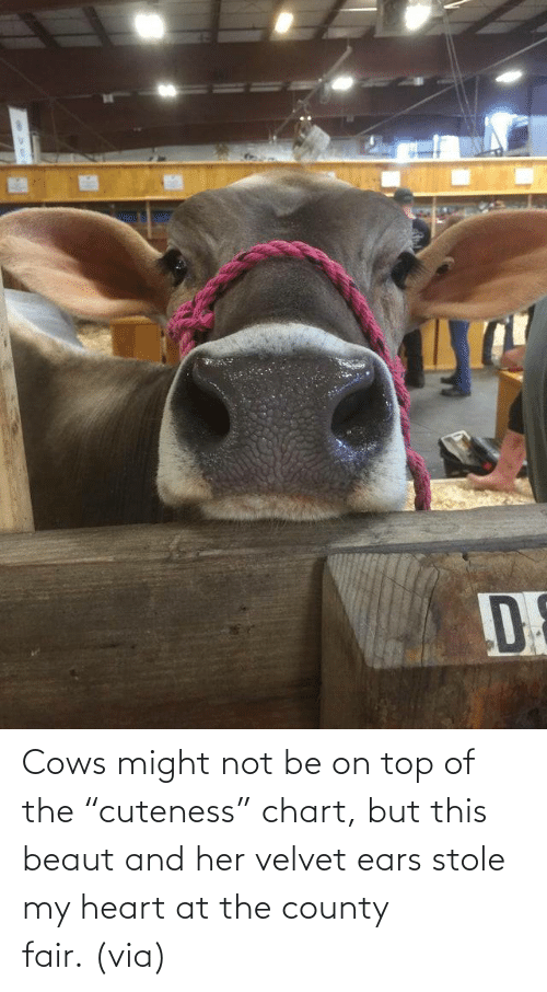 "Heart: Cows might not be on top of the ""cuteness"" chart, but this beaut and her velvet ears stole my heart at the county fair. (via)"