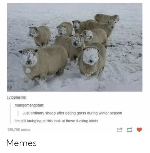 Fucking, Memes, and Winter: cytoplasms  mangomangotan  Just ordinary sheep after eating grass during winter season  im still lauhging at this look at these fucking idiots  129,798 notes Memes