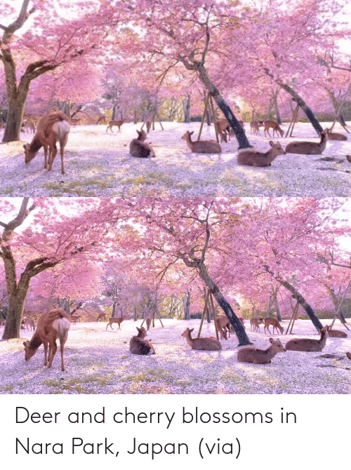 aww: Deer and cherry blossoms in Nara Park, Japan (via)