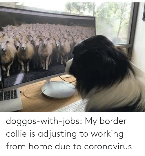 Coronavirus: doggos-with-jobs:  My border collie is adjusting to working from home due to coronavirus