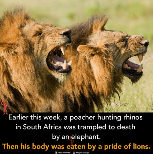 Africa, Memes, and Hunting: Earlier this week, a poacher hunting rhinos  in South Africa was trampled to death  by an elephant.  Then his body was eaten by a pride of lions.