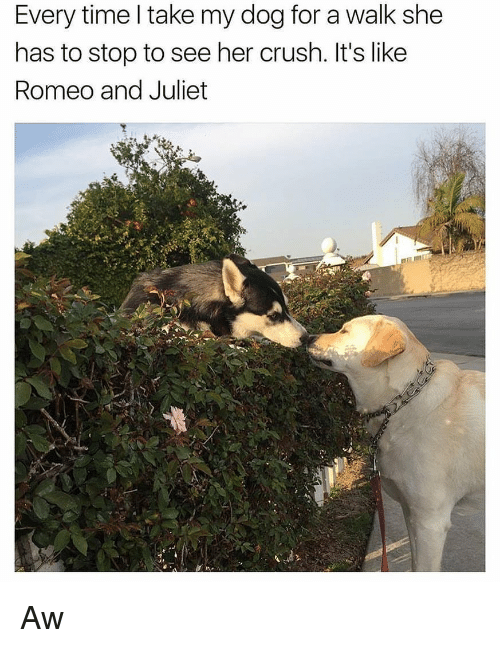 Romeo and Juliet: Every time l take my dog for a walk she  has to stop to see her crush. It's like  Romeo and Juliet Aw