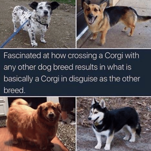 Corgi, What Is, and How: Fascinated at how crossing a Corgi with  any other dog breed results in what is  basically a Corgi in disguise as the other  breed
