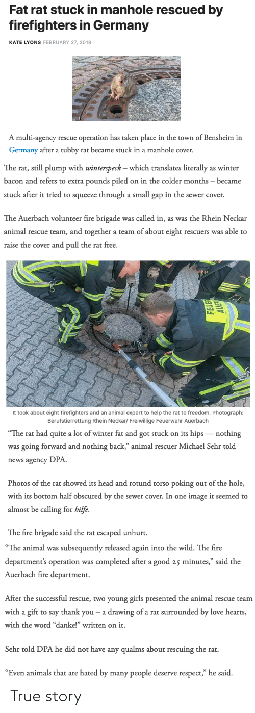 """Animals, Fire, and Girls: Fat rat stuck in manhole rescued by  firefighters in Germany  KATE LYONS FEBRUARY 27, 2019  A multi-agency rescue operation has taken place in the town of Bensheim in  Germany after a tubby rat became stuck in a manhole cover.   The rat, still plump with winterspeck - which translates literally as winter  bacon and refers to extra pounds piled on in the colder months became  stuck after it tried to squeeze through a small gap in the sewer cover.  The Auerbach volunteer fire brigade was called in, as was the Rhein Neckar  animal rescue team, and together a team of about eight rescuers was able to  raise the cover and pull the rat free.   It took about eight firefighters and an animal expert to help the rat to freedom. Photograph:  Berufstierrettung Rhein Neckar/ Freiwillige Feuerwehr Auerbach   The  rat  had  quite  a  lot  of  winter  fat  and  got  stuck  on  its  hips  _nothing  was going forward and nothing back,"""" animal rescuer Michael Sehr told  news agency DPA  Photos of the rat showed its head and rotund torso poking out of the hole,  with its bottom half obscured by the sewer cover. In one image it seemed to  almost be calling for hilfe.  The fire brigade said the rat escaped unhurt.   """"The animal was subsequently released again into the wild. The fire  department's operation was completed after a good 25 minutes,"""" said the  Auerbach fire department.  After the successful rescue, two young girls presented the animal rescue teanm  with a gift to say thank you- a drawing of a rat surrounded by love hearts  with the word """"danke!"""" written on it.  Sehr told DPA he did not have any qualms about rescuing the rat.  """"Even animals that are hated by many people deserve respect,"""" he said. True story"""