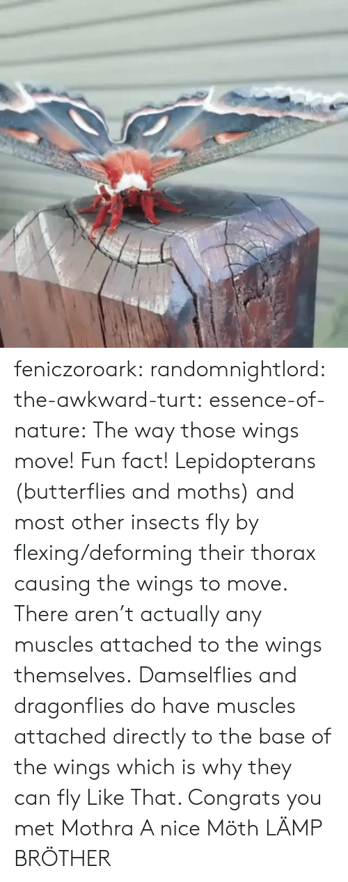 butterflies: feniczoroark:  randomnightlord:  the-awkward-turt: essence-of-nature:   The way those wings move!    Fun fact! Lepidopterans (butterflies and moths) and most other insects fly by flexing/deforming their thorax causing the wings to move. There aren't actually any muscles attached to the wings themselves. Damselflies and dragonflies do have muscles attached directly to the base of the wings which is why they can fly Like That.    Congrats you met Mothra  A nice Möth  LÄMP BRÖTHER