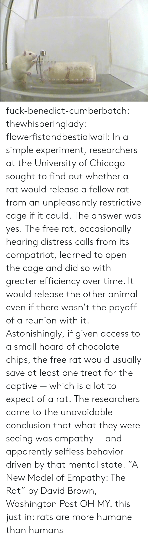 """Apparently, Chicago, and Target: fuck-benedict-cumberbatch:  thewhisperinglady:  flowerfistandbestialwail:   In a simple experiment, researchers at the University of Chicago sought to find out whether a rat would release a fellow rat from an unpleasantly restrictive cage if it could. The answer was yes. The free rat, occasionally hearing distress calls from its compatriot, learned to open the cage and did so with greater efficiency over time. It would release the other animal even if there wasn't the payoff of a reunion with it. Astonishingly, if given access to a small hoard of chocolate chips, the free rat would usually save at least one treat for the captive — which is a lot to expect of a rat. The researchers came to the unavoidable conclusion that what they were seeing was empathy — and apparently selfless behavior driven by that mental state. """"A New Model of Empathy: The Rat"""" by David Brown, Washington Post   OH MY.  this just in: rats are more humane than humans"""