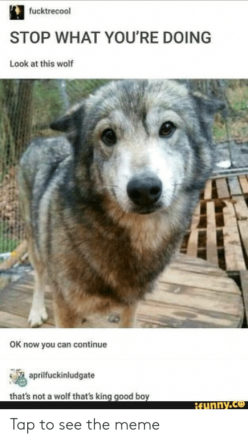 Meme, Good, and Wolf: fucktrecool  STOP WHAT YOU'RE DOING  Look at this wolf  OK now you can continue  tal,a, aprilfuckinludgate  that's not a wolf that's king good boy  ifunny. Tap to see the meme