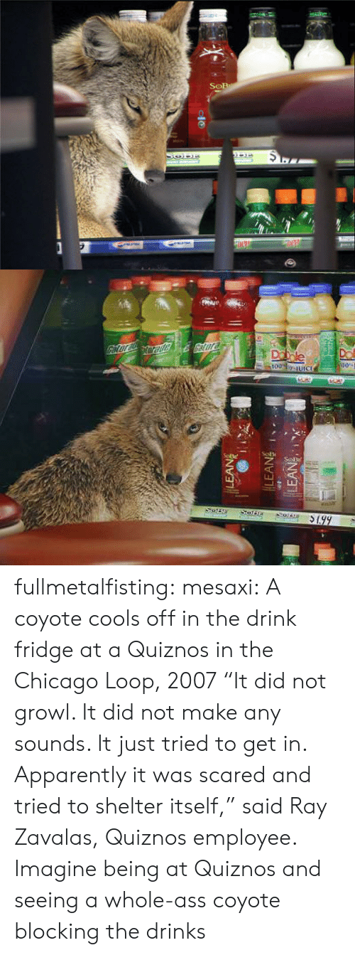 """Blocking: fullmetalfisting:  mesaxi:  A coyote cools off in the drink fridge at a Quiznos in the Chicago Loop, 2007 """"It did not growl. It did not make any sounds. It just tried to get in. Apparently it was scared and tried to shelter itself,"""" said Ray Zavalas, Quiznos employee.   Imagine being at Quiznos and seeing a whole-ass coyote blocking the drinks"""