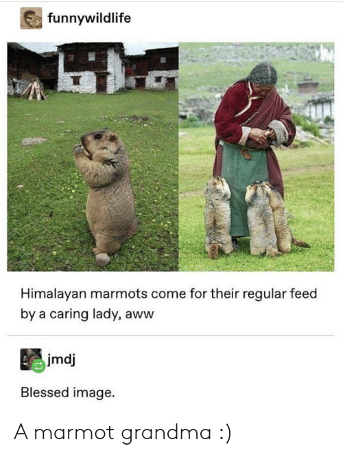 Aww, Blessed, and Grandma: funnywildlife  Himalayan marmots come for their regular feed  by a caring lady, aww  jmdj  Blessed image. A marmot grandma :)