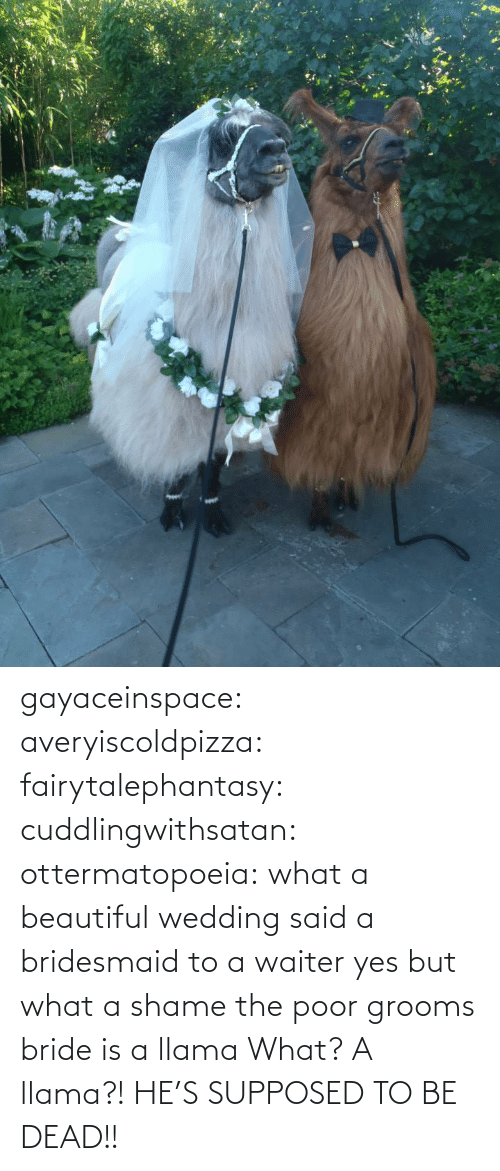shame: gayaceinspace: averyiscoldpizza:  fairytalephantasy:  cuddlingwithsatan:  ottermatopoeia:  what a beautiful wedding  said a bridesmaid to a waiter  yes but what a shame  the poor grooms bride is a llama  What? A llama?! HE'S SUPPOSED TO BE DEAD!!