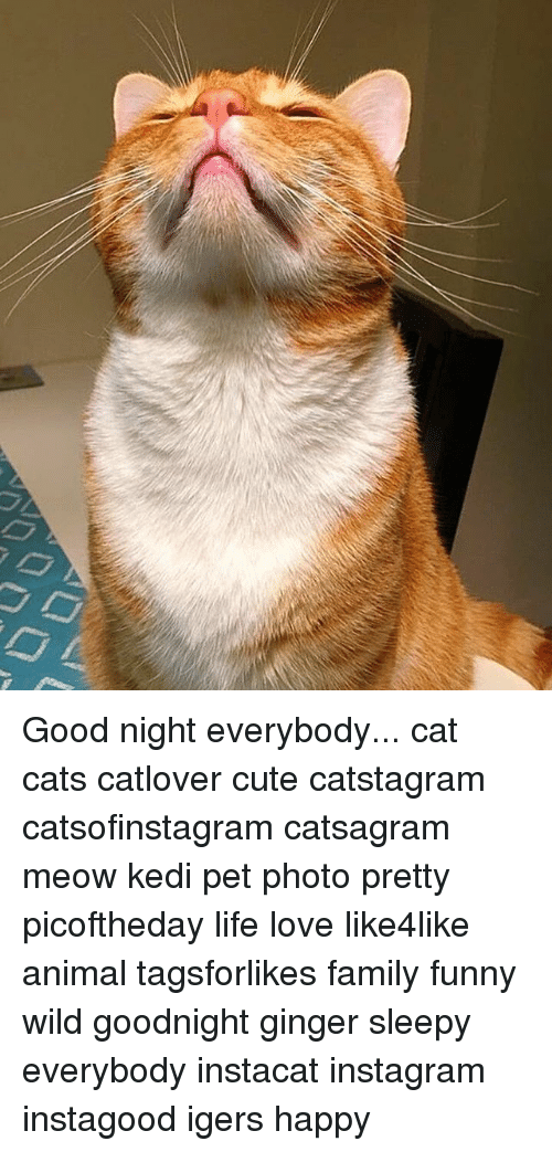 gingerly: Good night everybody... cat cats catlover cute catstagram catsofinstagram catsagram meow kedi pet photo pretty picoftheday life love like4like animal tagsforlikes family funny wild goodnight ginger sleepy everybody instacat instagram instagood igers happy