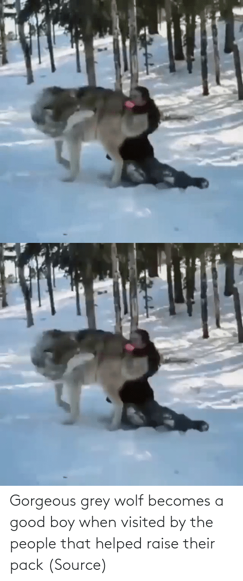 boy: Gorgeous grey wolf becomes a good boy when visited by the people that helped raise their pack(Source)